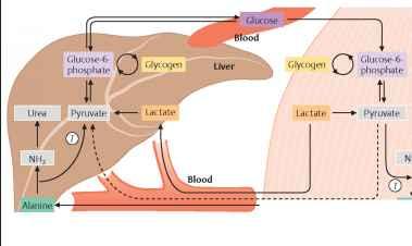 Metabolism Glucose Storage - Nutrition Guide - Karel's ...