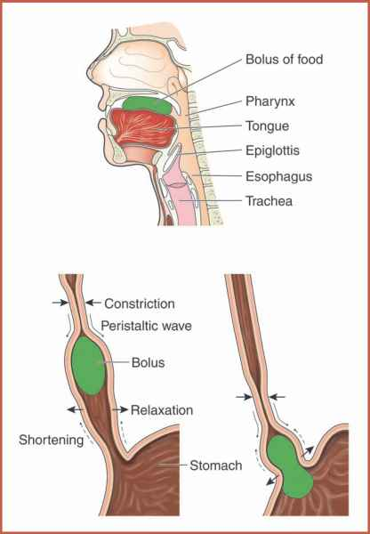 Digestion The Esophagus