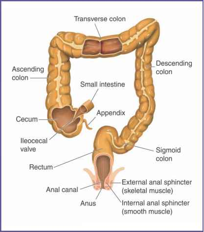 Large Intestine Haustra Anatomy
