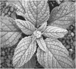 Nitrate Deficiency Plant