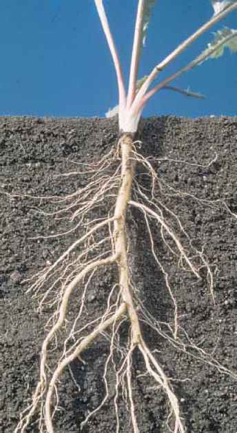 Example Fibrous Root System
