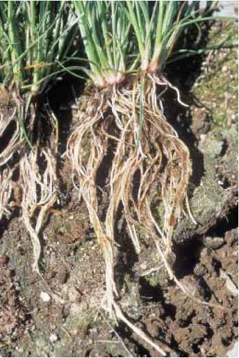 Adventitious Root System Images