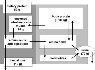 Nitrogen balance and protein requirements nutrition and metabolism figure 91 an overview of protein metabolism fandeluxe Gallery