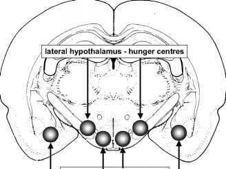 Lateral Hypothalamus Hunger
