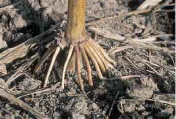Adventitious Root System Zea Mays
