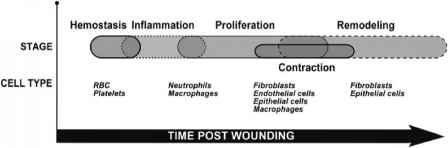 Stages Wound Healing Proliferation